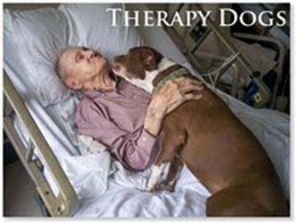 therapy pit bull[1]